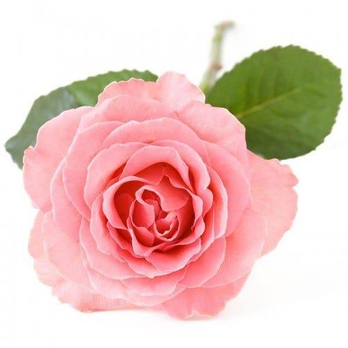 Damascene-rose