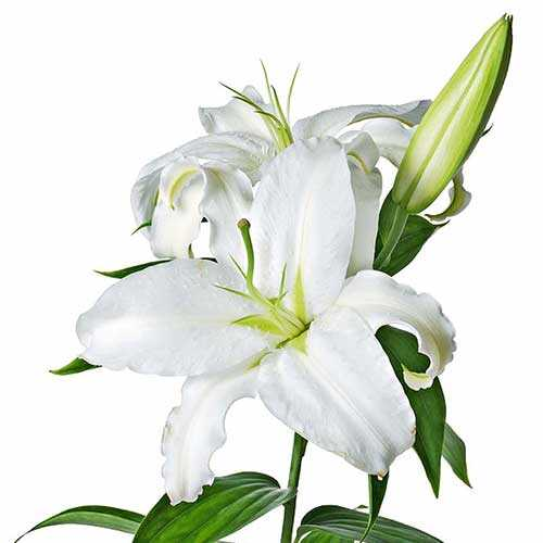 White-Lily