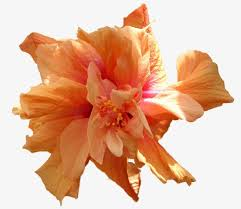 french-orange-flower